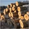 Pine wood, spruce wood freshly cut sawn timber