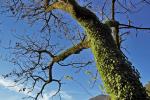 Eigenschaften von Eschenholz